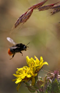 Bee Collecting Pollen, by Paul King