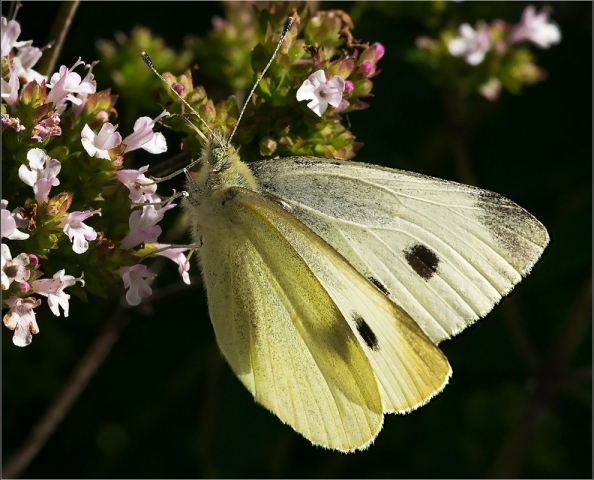 Small White Butterfly, by Barbara Clayton