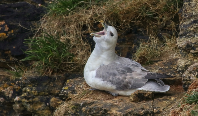 Fulmar, by Jeanie King