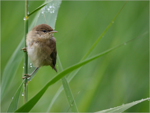 Reed Warbler, by Paul King