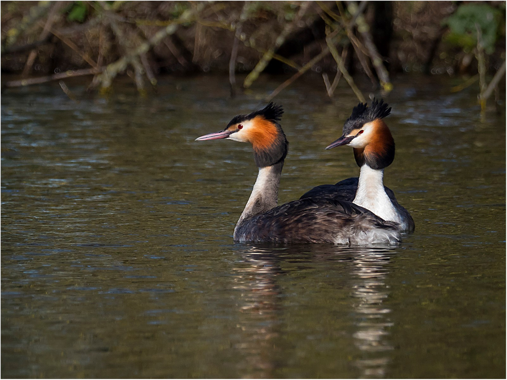 Great Crested Grebes, by Paul Twambley