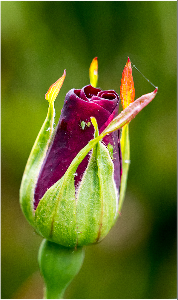 Rose Bud with Greenfly, by Peter Kuxhaus