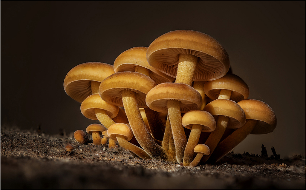 Macro Velvet Shank Mushrooms, by Angela Carr
