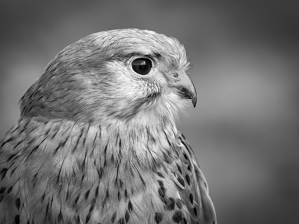 Kestrel, by Paul Twambley