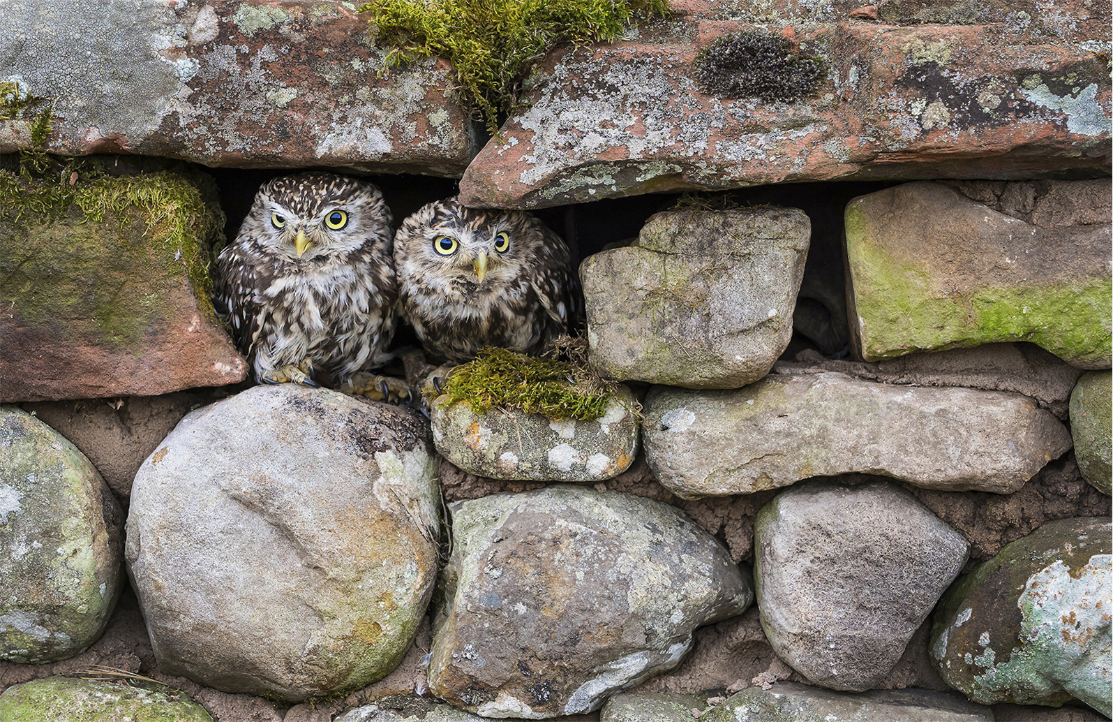 Little Owls, by Paul Twambley