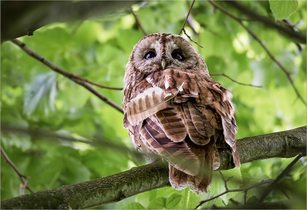 Wild Tawny Owl, by Angela Carr