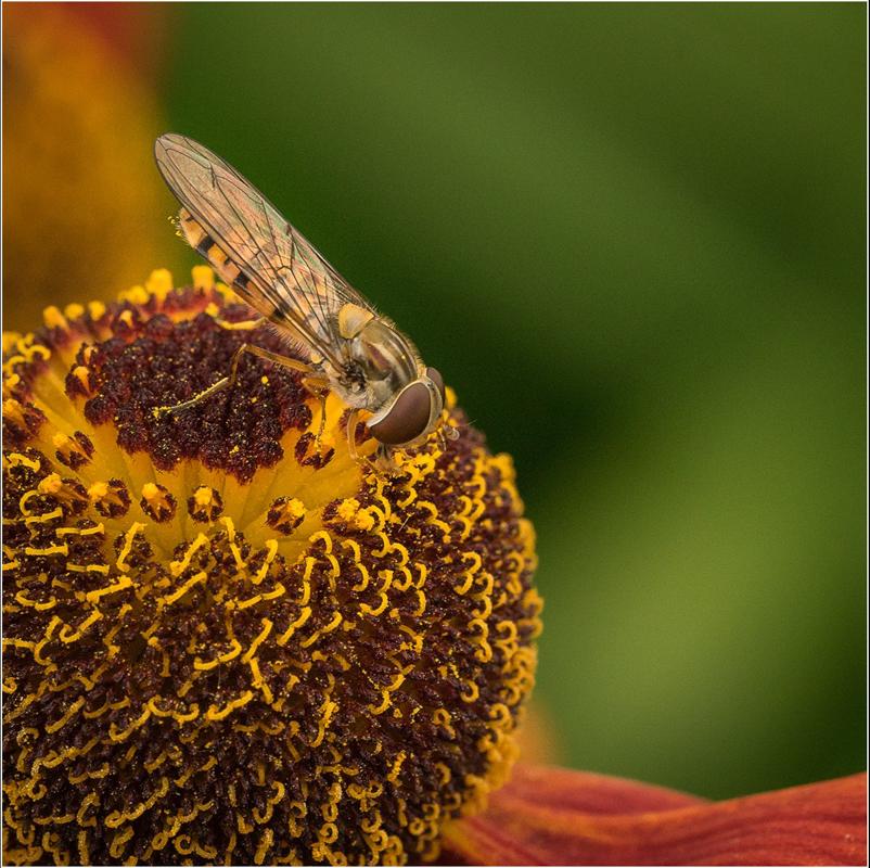 Hoverfly Feeding on Helenium, by Barbara Clayton