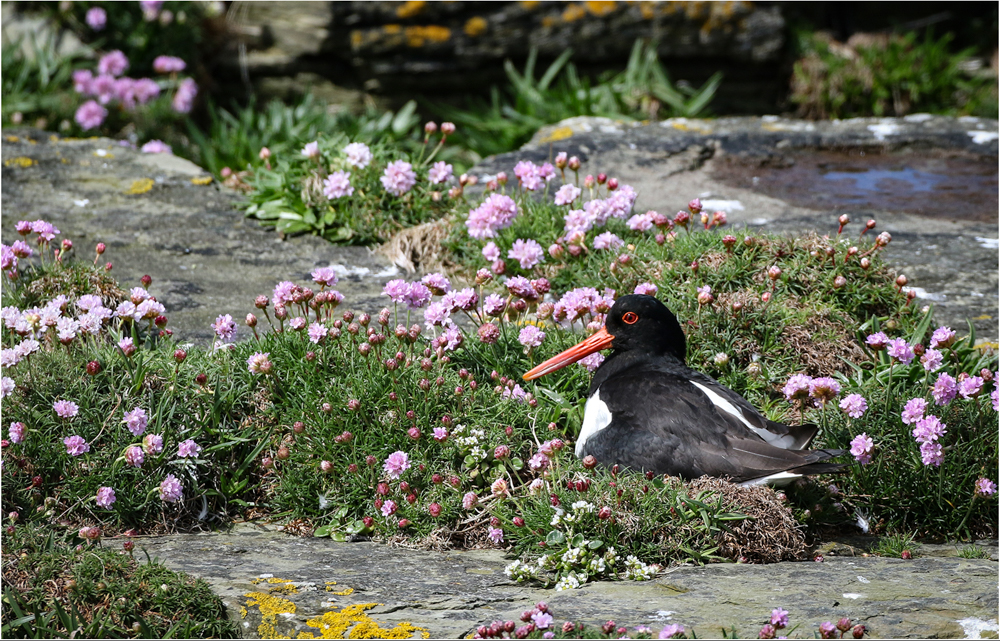 Oyster Catcher on Nest, by Paul King