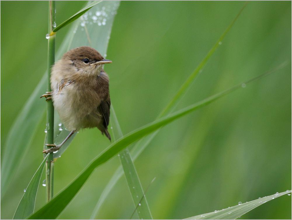 Reed Warbler, by Paul King