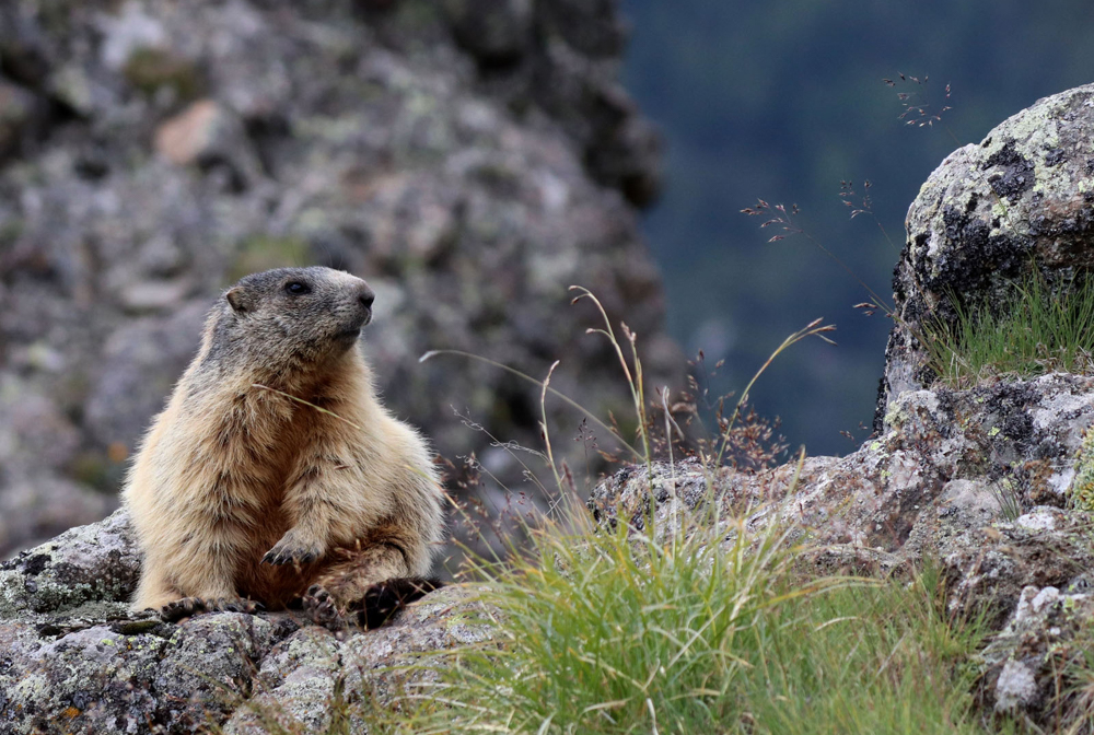 Marmot, by Sandra Polke