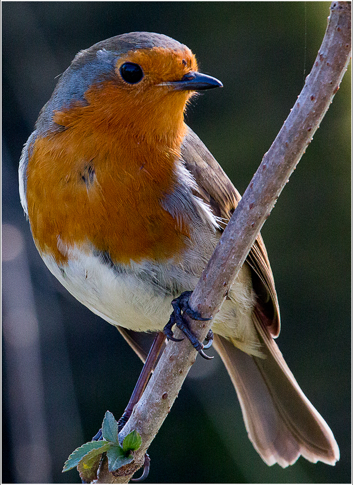 Robin on Branch, by Tracy Kuxhaus