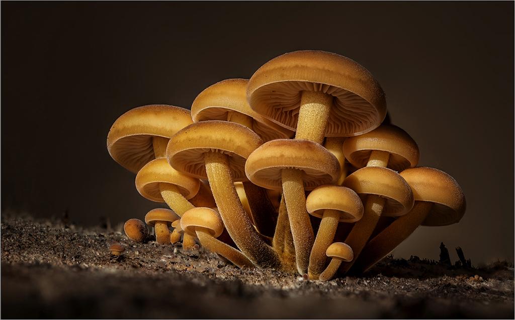 Macro Velvet Shank Mushrooms, by Angela Carr