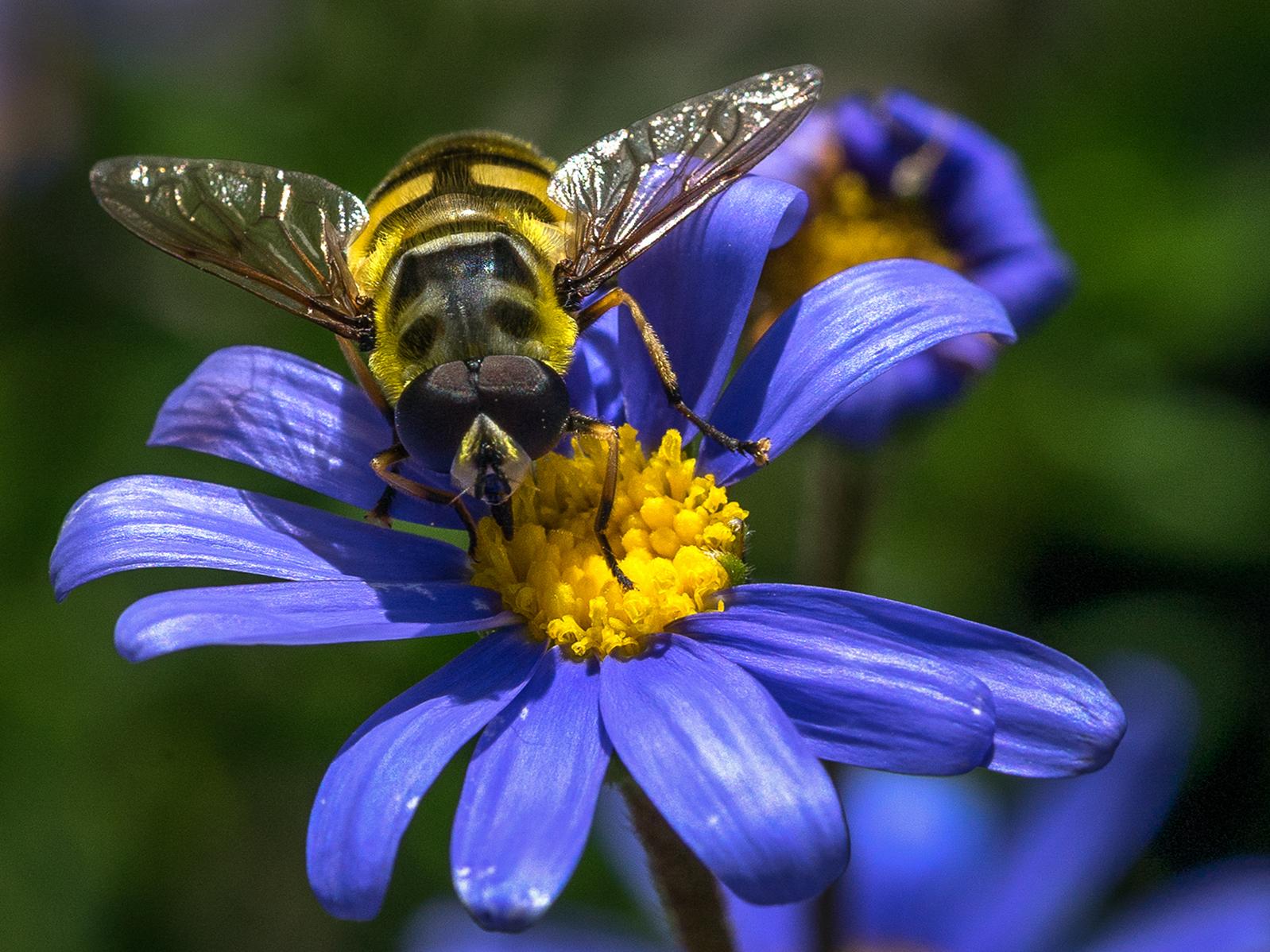 Hoverfly on Daisy