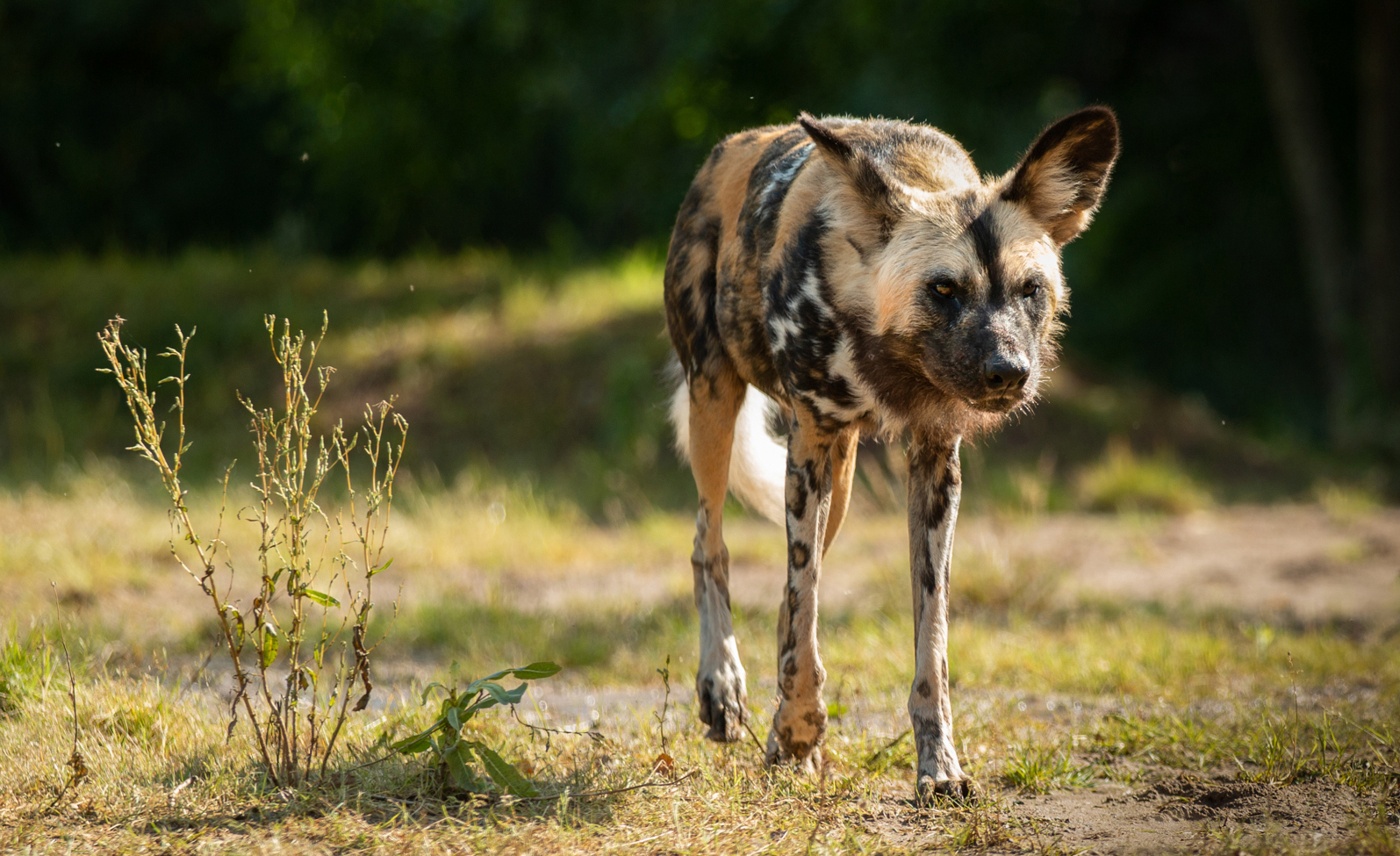 African Painted Dog at Chester Zoo, by Matthew Polke