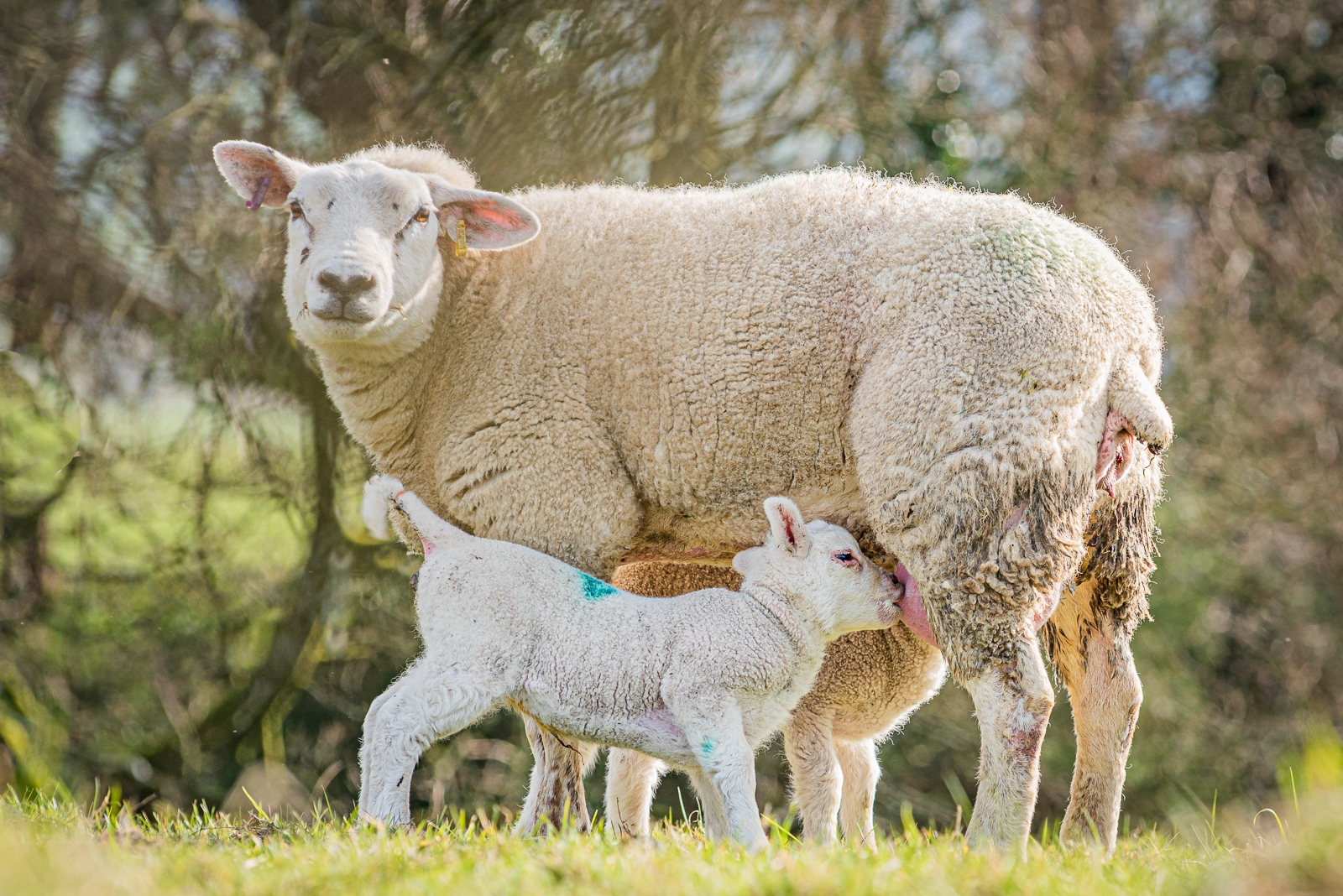 The Suckling of the Lambs. by Dawn Keeling